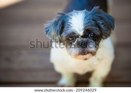 Shih Tzu Puppy looking at camera  - stock photo