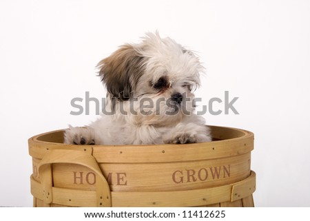 Shih tzu puppy looking out from a wooden basket that says home grown on the side. - stock photo