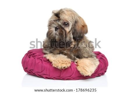 Shih-tzu puppy lying on pillow. Portrait on white background - stock photo