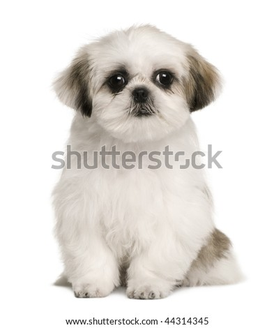 Shih tzu puppy, 4 months old, sitting in front of white background - stock photo