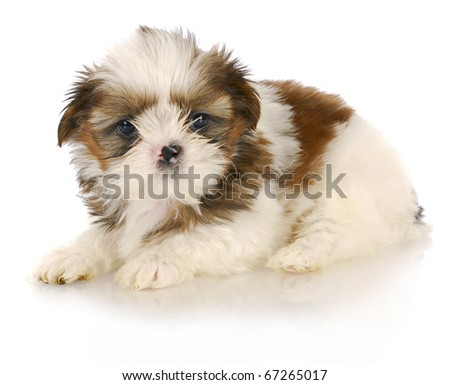 shih tzu puppy on white background - six weeks old - stock photo