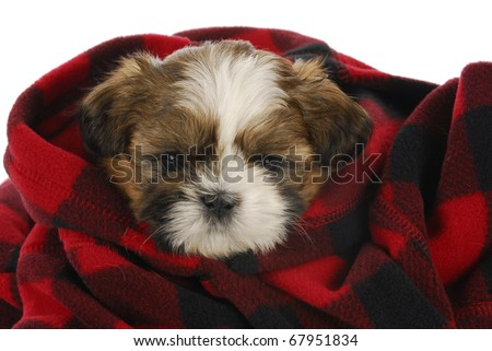 shih tzu puppy peeking out of red and black plaid blanket on white background - stock photo