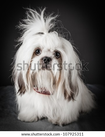 shih tzu puppy portrait - stock photo