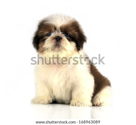 Shih-tzu puppy posing isolated on white background - stock photo