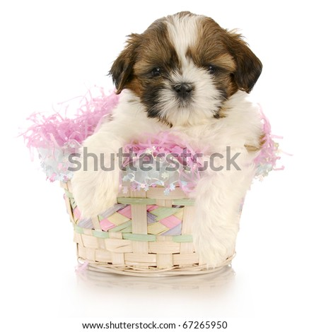 shih tzu puppy sitting in easter basket with reflection on white background - stock photo
