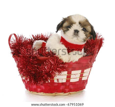 shih tzu puppy sitting in red christmas basket with reflection on white background - stock photo
