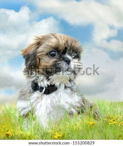 Shih tzu puppy sitting on grass - stock photo