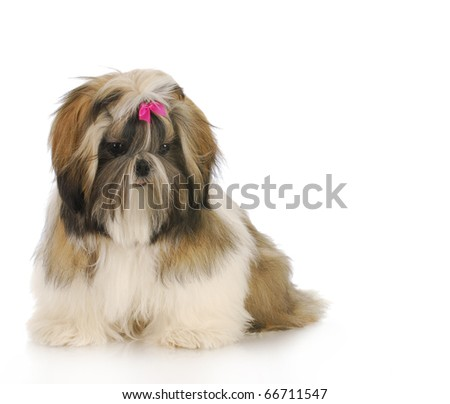 shih tzu puppy sitting with reflection on white background - stock photo
