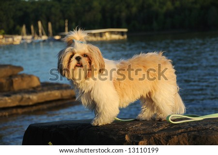 Shih Tzu puppy standing on a rock at the lake at sunset. - stock photo