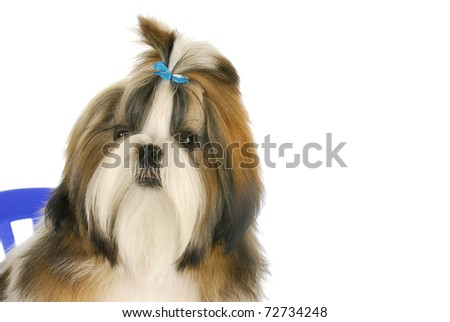 shih tzu puppy wearing blue bow in hair on white background - stock photo