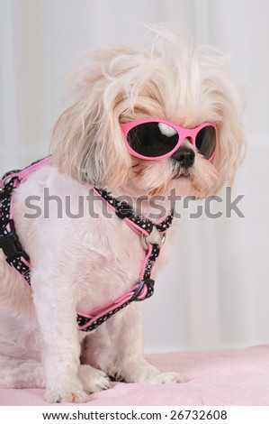Shih Tzu Puppy wearing hot pink sunglasses - stock photo