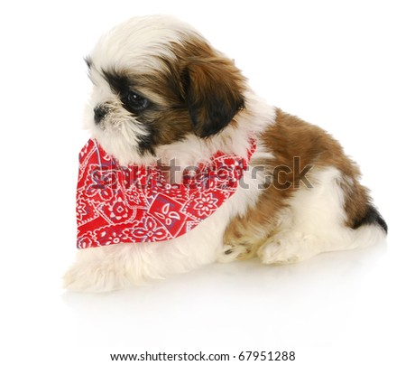 shih tzu puppy wearing red bandanna with reflection on white background