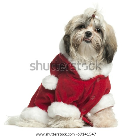 Shih Tzu puppy wearing Santa outfit, 9 months old, sitting in front of white background - stock photo