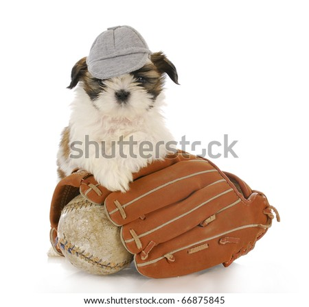 shih tzu puppy with baseball glove and ball with reflection on white background - stock photo