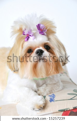 Shih Tzu Puppy with bows in her pigtails, sitting pretty.