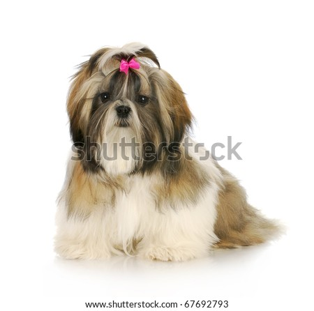 shih tzu puppy with pink bow in hair sitting with reflection on white background - stock photo