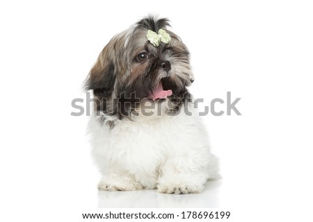 Shih Tzu puppy yawn. Portrait on a white background