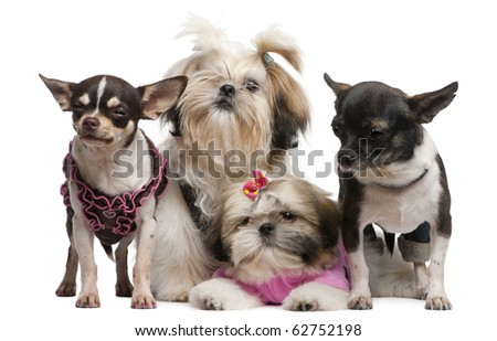 Shih Tzu's, 7 months old, 3 months old, and Chihuahuas, 4 years old, 1 year old, dressed up and sitting in front of white background - stock photo