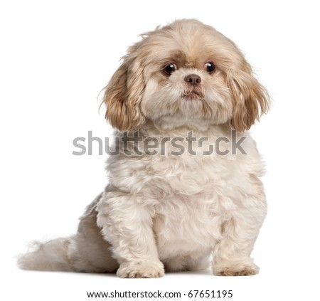 Shih Tzu sitting in front of white background - stock photo