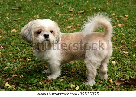 Shih tzu standing on the green. - stock photo