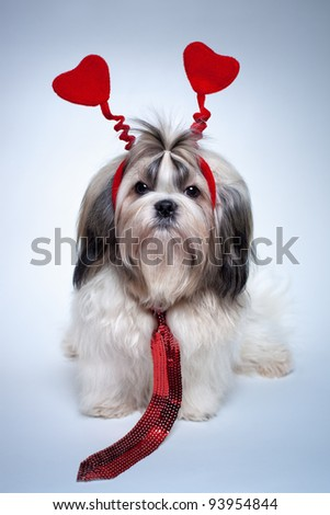 Shih tzu valentines day. Small puppy with red hearts and tie. - stock photo
