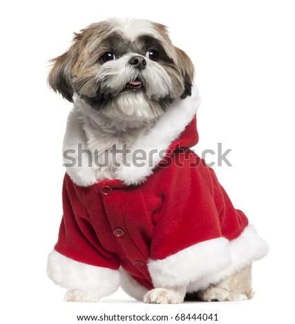 Shih Tzu wearing Santa outfit, 4 years old, sitting in front of white background - stock photo
