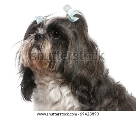 Shih Tzu with blue bows in hair, 4 years old, in front of white background