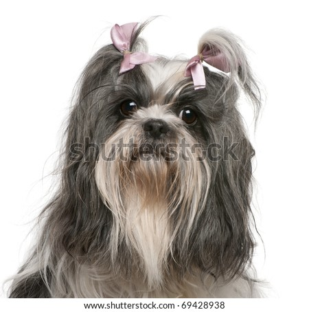 Shih Tzu with pink bows in hair, 4 years old, in front of white background - stock photo