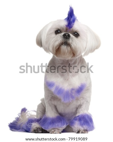 Shih Tzu with purple mohawk, 2 years old, sitting in front of white background - stock photo