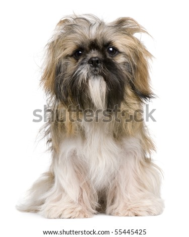 Shih Tzu, 1 year old, sitting against white background - stock photo
