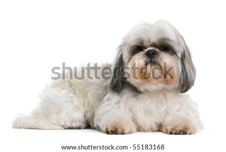 Shih Tzu, 8 years old, in front of white background - stock photo