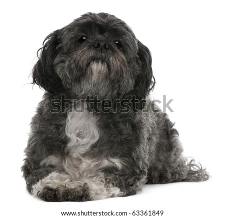 Shih Tzu, 6 years old, lying in front of white background - stock photo