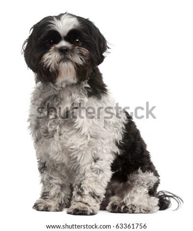 Shih Tzu, 2 years old, sitting in front of white background - stock photo