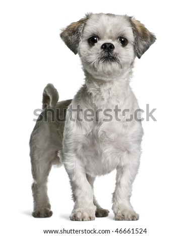 Shih Tzu, 3 years old, standing in front of white background - stock photo