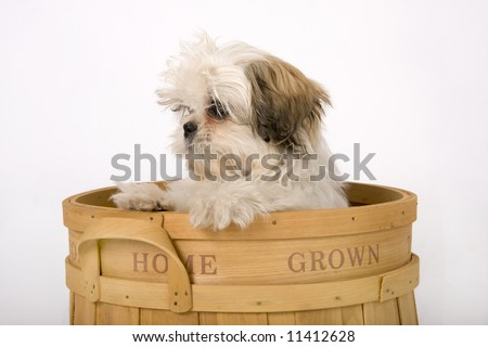 Shih-zhu puppy looking out from a wooden fruit crate that says home grown on the side. - stock photo