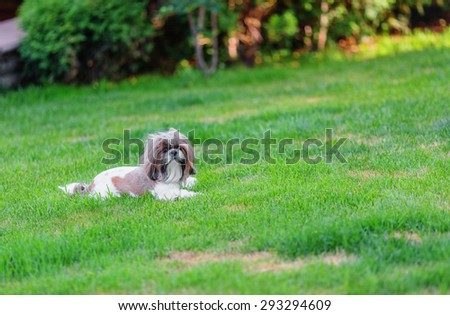 Shihtzu dog looking at camera in the backyard (shallow dof) - stock photo