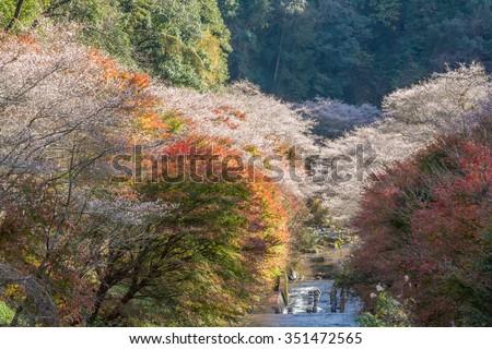 Shikizakura  blossom in  Autumn at Obara district, Japan.Shikizakura kind of sakura blooms once in spring, and again in autumn. - stock photo