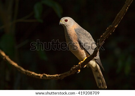 Shikra male sunlight in the nature.