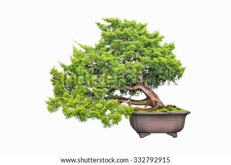 shimpaku juniper bonsai isolated on a white background - stock photo