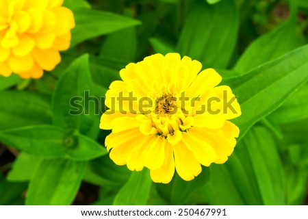Shine yellow zinnia flowers