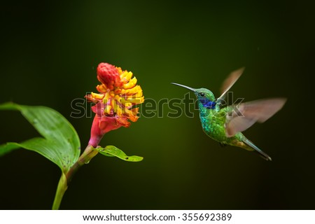 Shining blue and grass green Colibri thalassinus Green Violet-ear medium size hummingbird hovering next to red and yellow flower with raindrops. Dark green blurred  background. - stock photo