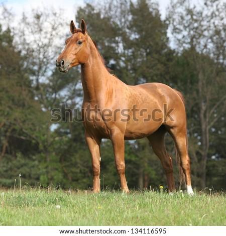 Shining chestnut horse standing on horizon in summer - stock photo
