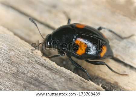 Shining fungus beetle, Scaphidium quadrimaculatum on wood, extreme close-up - stock photo