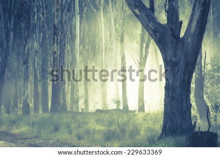 Shining light through eerie mystic spooky fog shimmering in the woods of dark forest. - stock photo