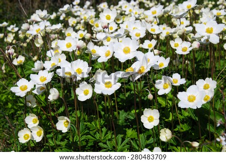 Shiny blossom Snowdrop Anemones all over the ground - stock photo
