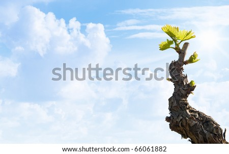 Shiraz Vine with a blue sky - stock photo