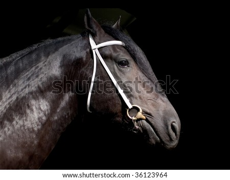 Shire horse isolated on the black background