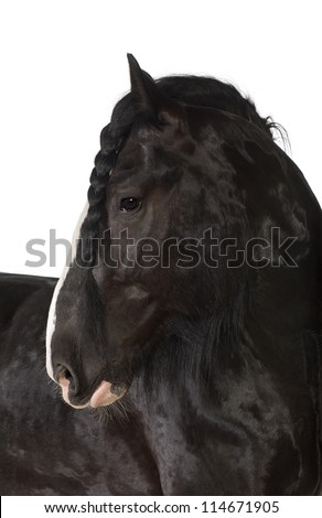 Shire Horse looking away against white background