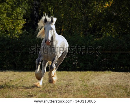 Shire horse stallion leaps into action in evening farm  - stock photo
