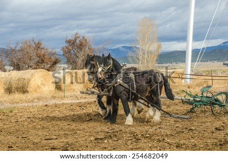 Shire horses harnessed to an antique plow which is being used to farm a small plot of land - stock photo
